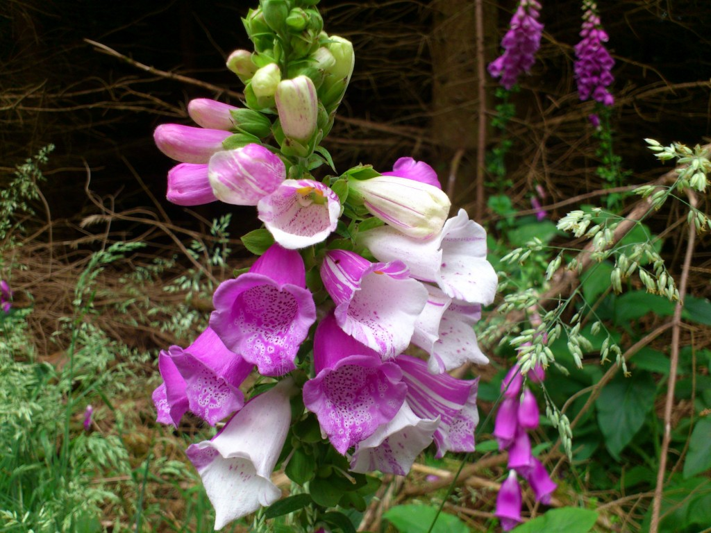 Stripy hybrid foxgloves